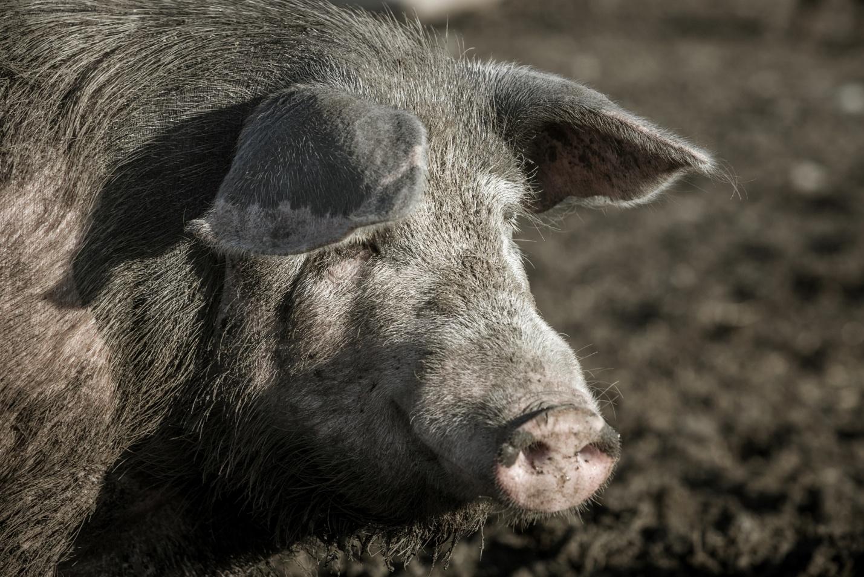 «Свинячий» вопрос или как торговать свининой